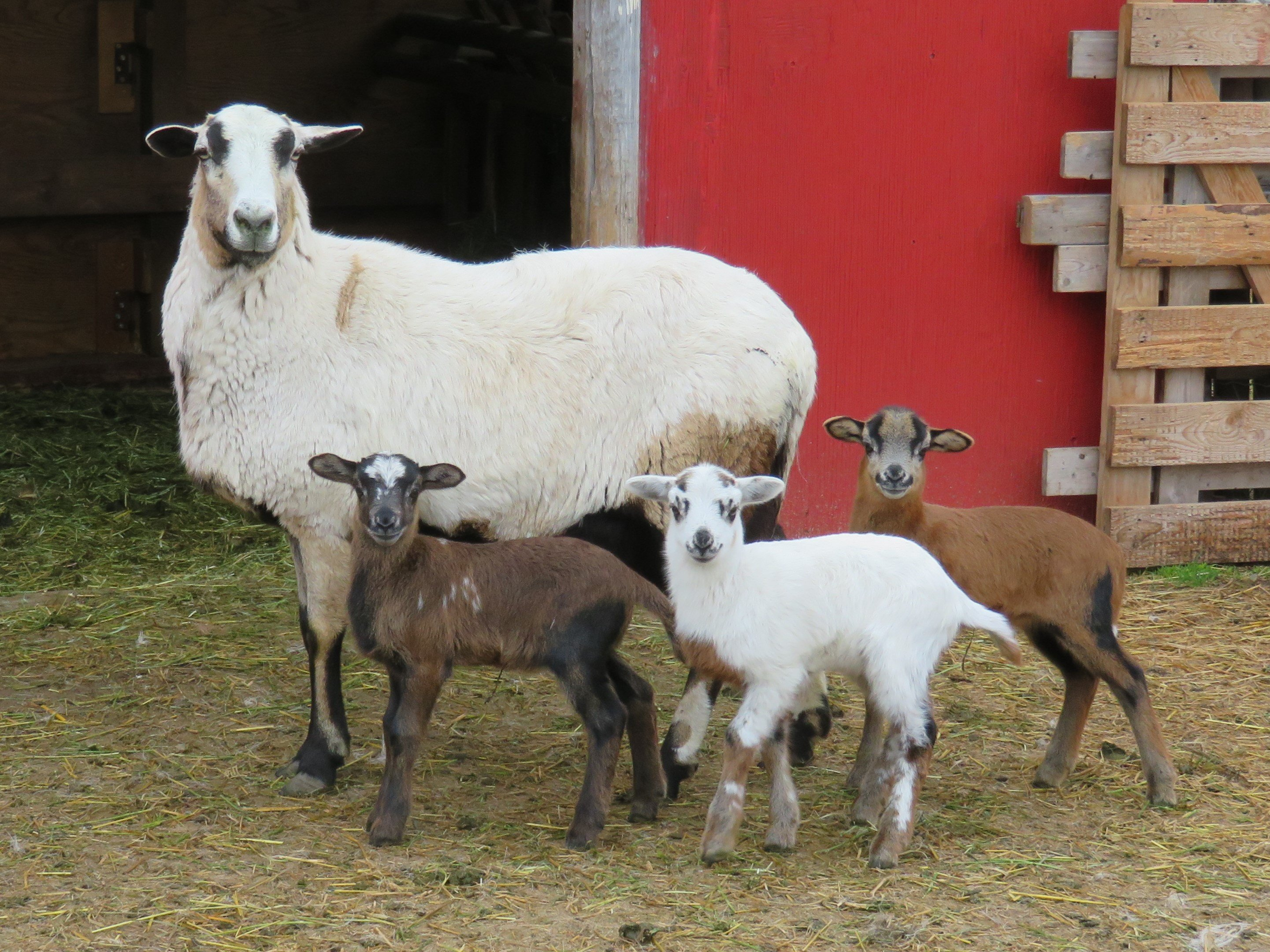 Big Rock Beauty ram ($300), ewe(staying) & ewe($200 sale pending)