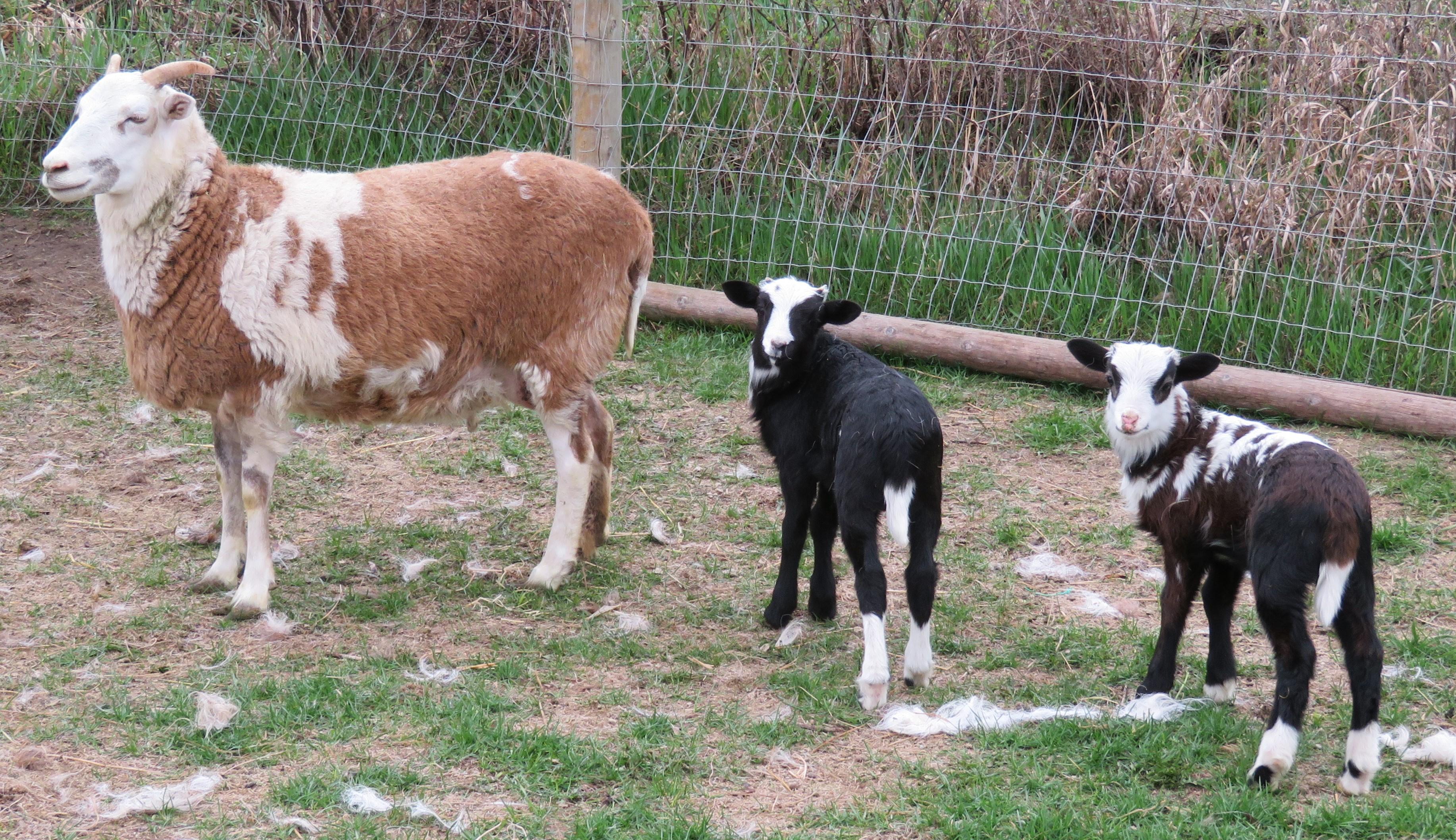 Big Rock Lulu twin ram lambs