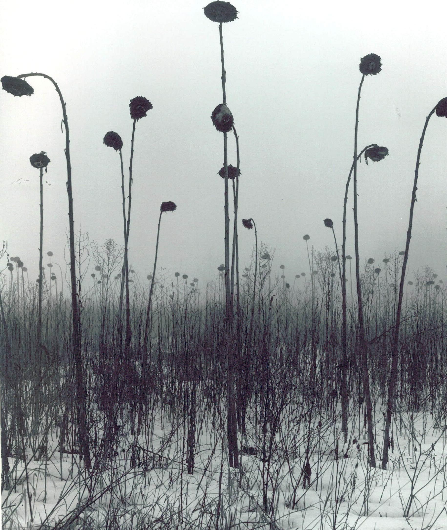 Grenville Allan Braiden Sunflowers, nd gelatin silver print