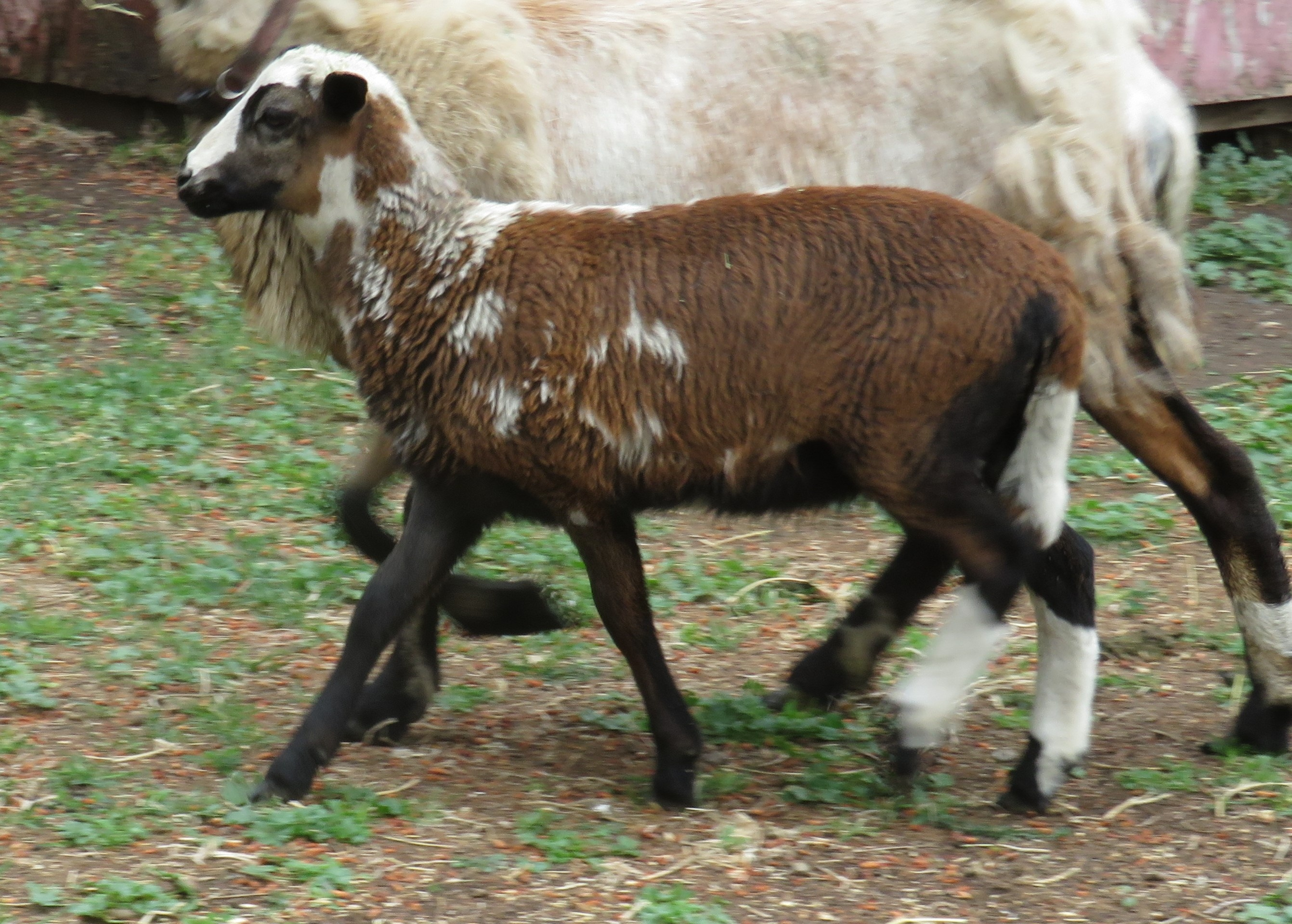 Hazel's ewe lamb 2 months