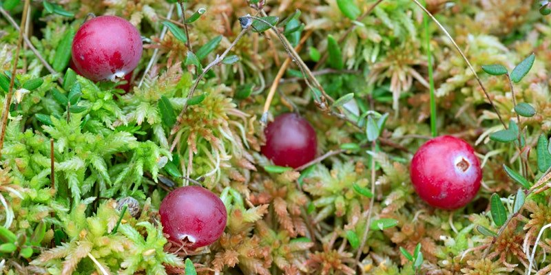 ripe red bog cranberries growing in soggy green sphagnum moss