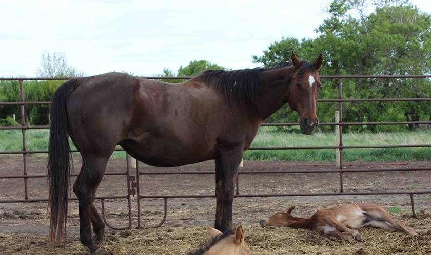 CANDY - June 12/14. She had a heart attack and left us with a 12 day old foal. (the foal did fine on milk replacer)