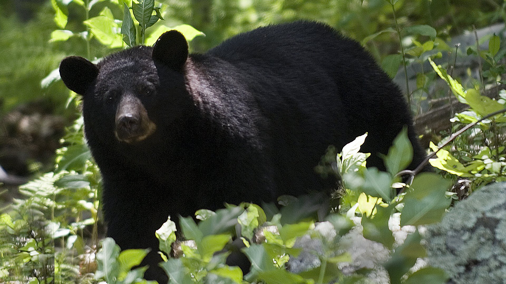https://0901.nccdn.net/4_2/000/000/06b/a1b/Black-Bear.jpg