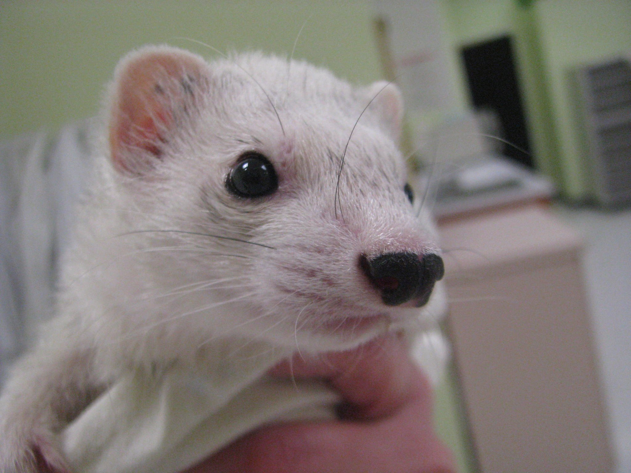 Close up ferret