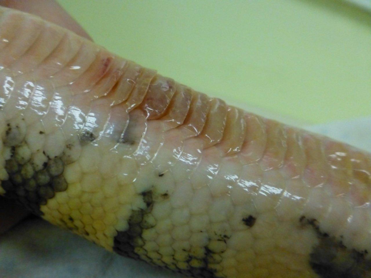 blister disease