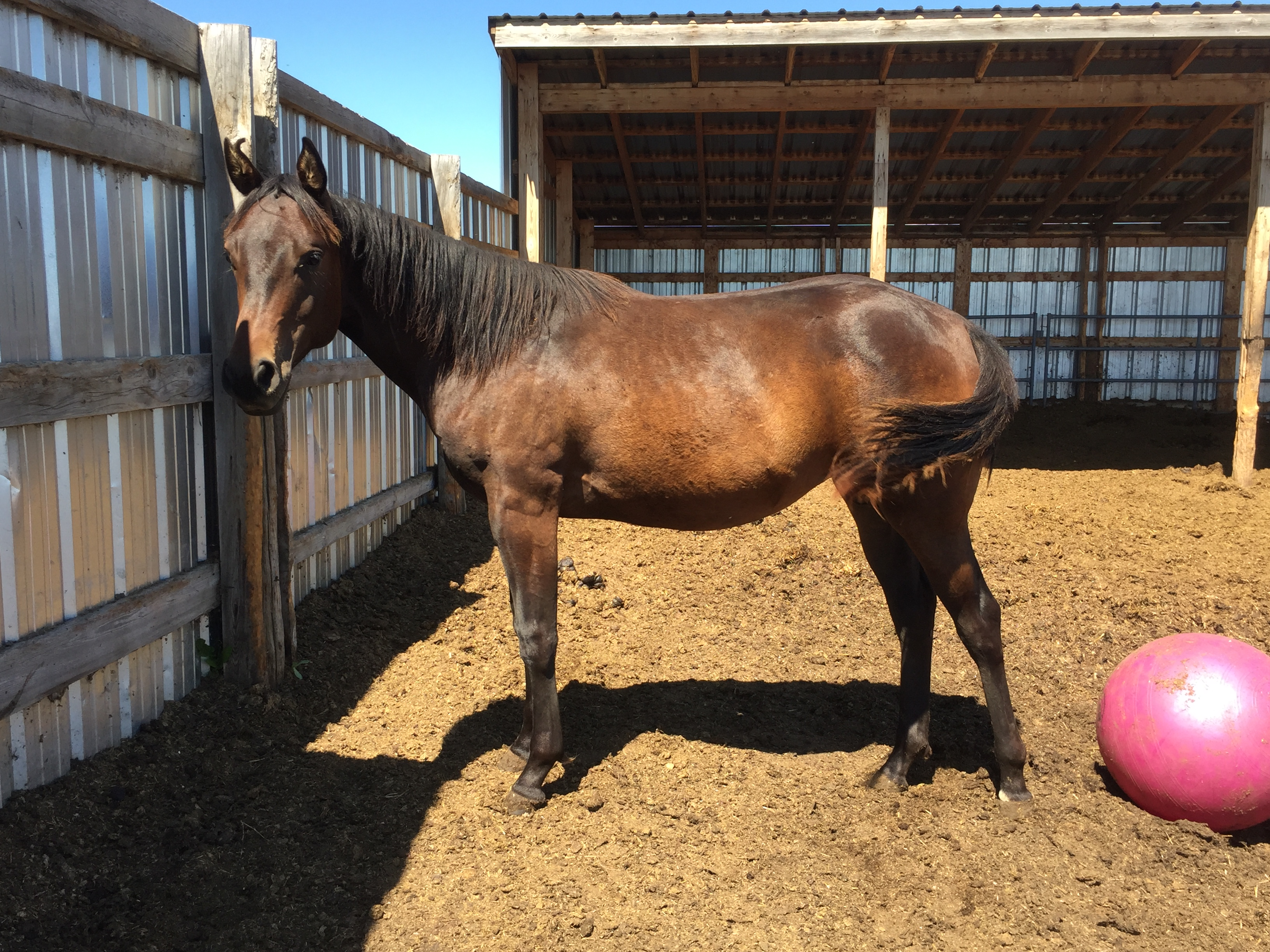 Petra 2019 quarter horse filly