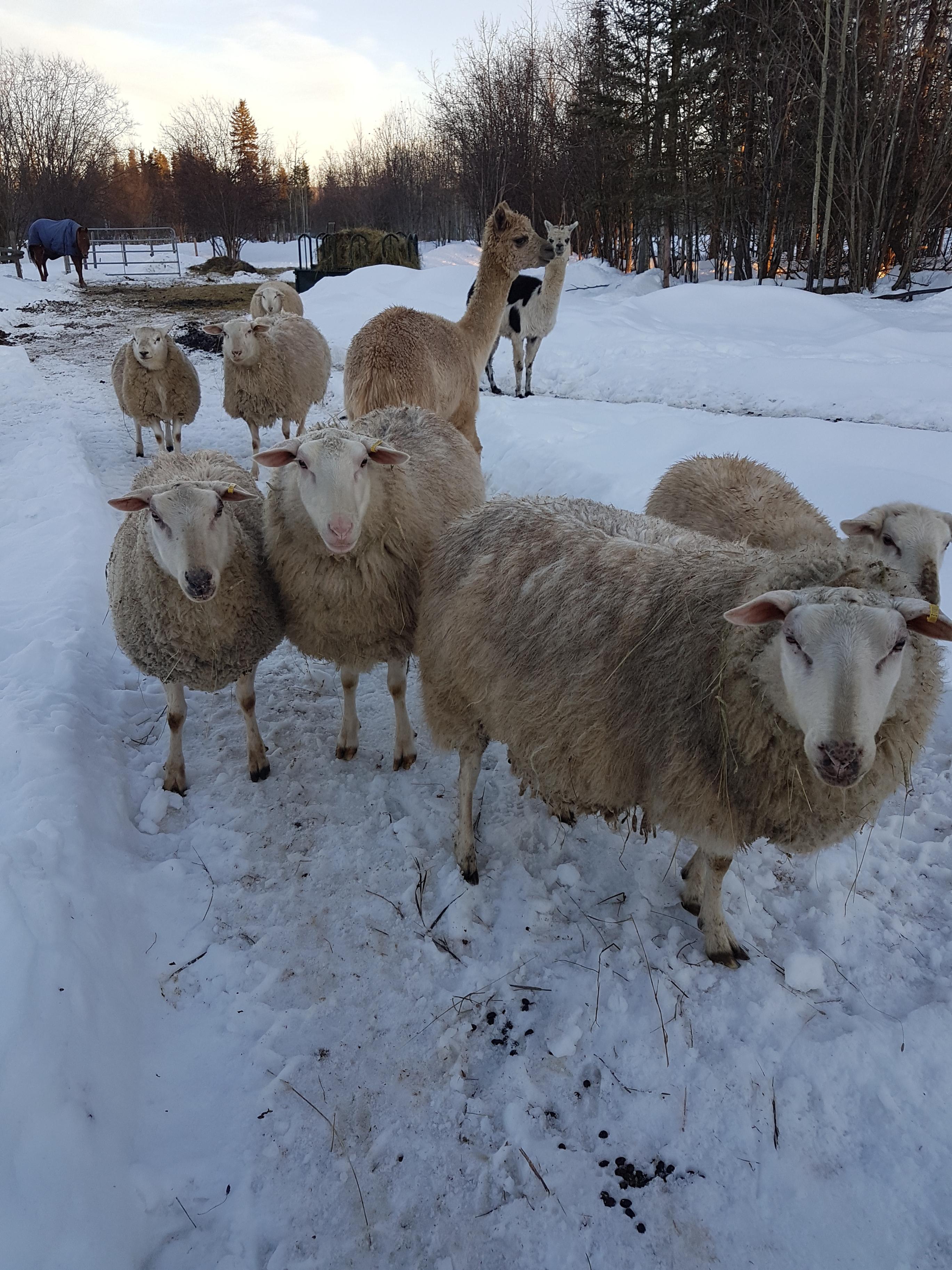 East Friesen Sheep