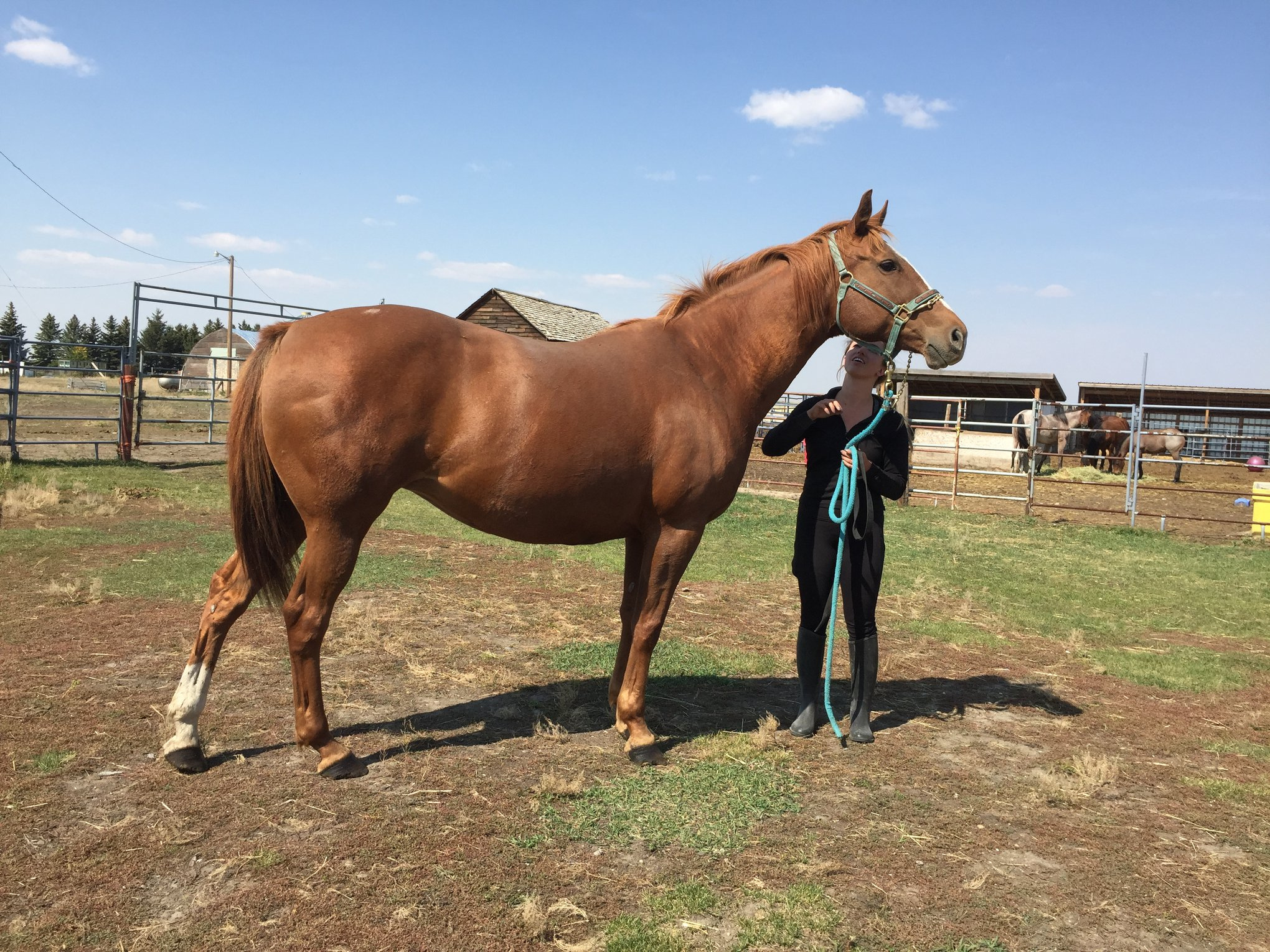 ROSIE - 2004 warm blood/thoroughbred cross mare, well broke has been shown.