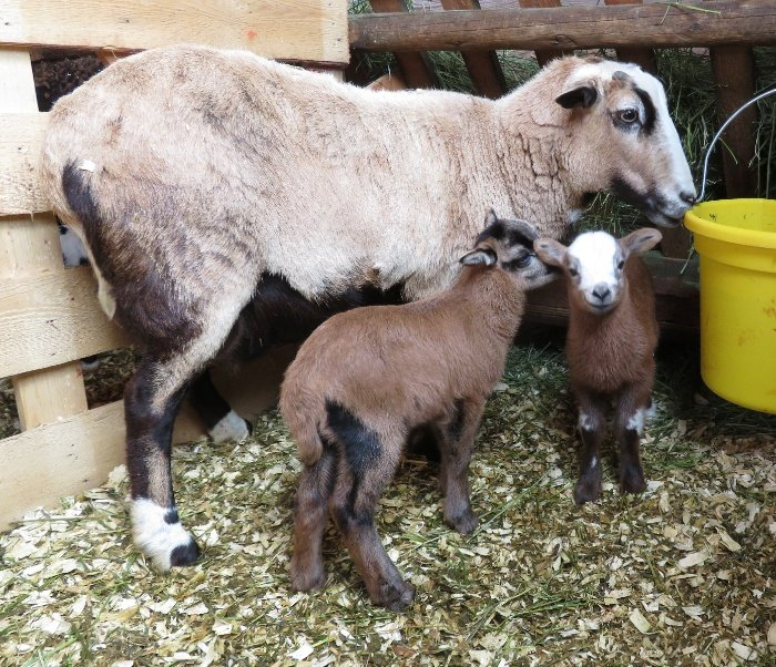Big Rock Tiny Dancer - ewe & ram lamb