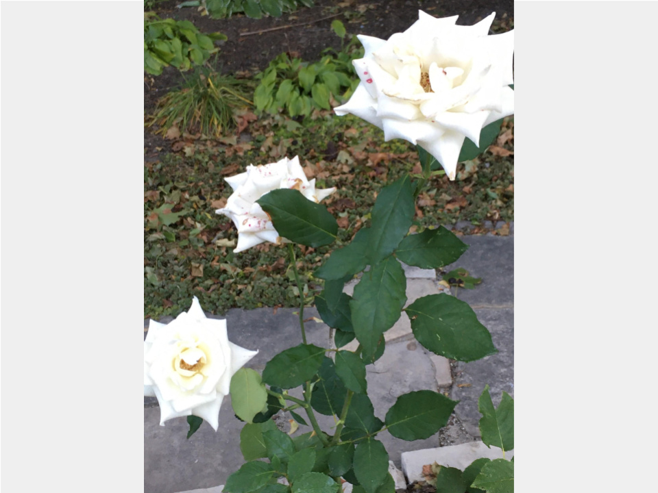 Church garden - white roses - Oct 2019