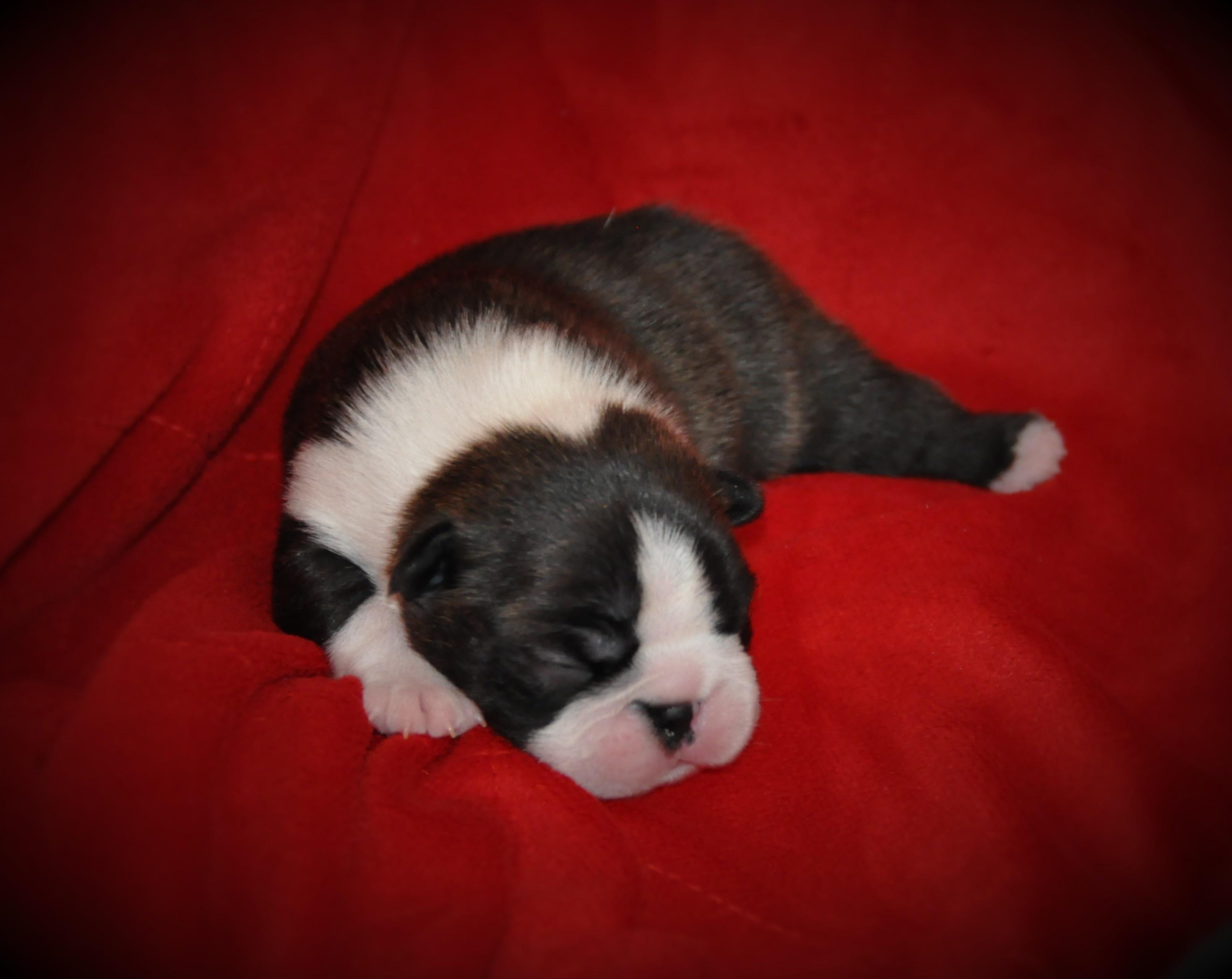 Tiny bébé Sumo