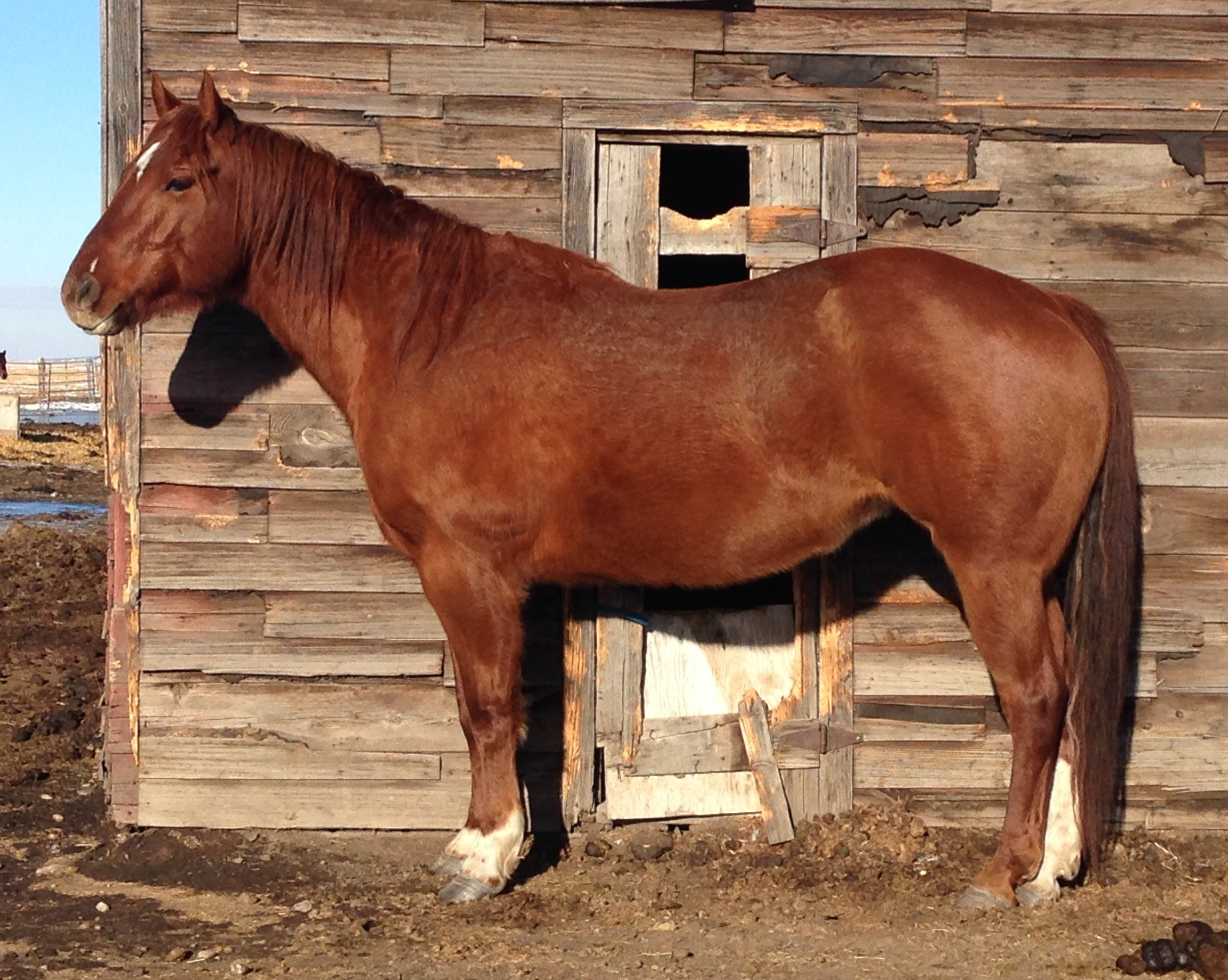 SCARLET - 2006 mare, herd matriarch, she is also used to teach volunteers about horsemanship.