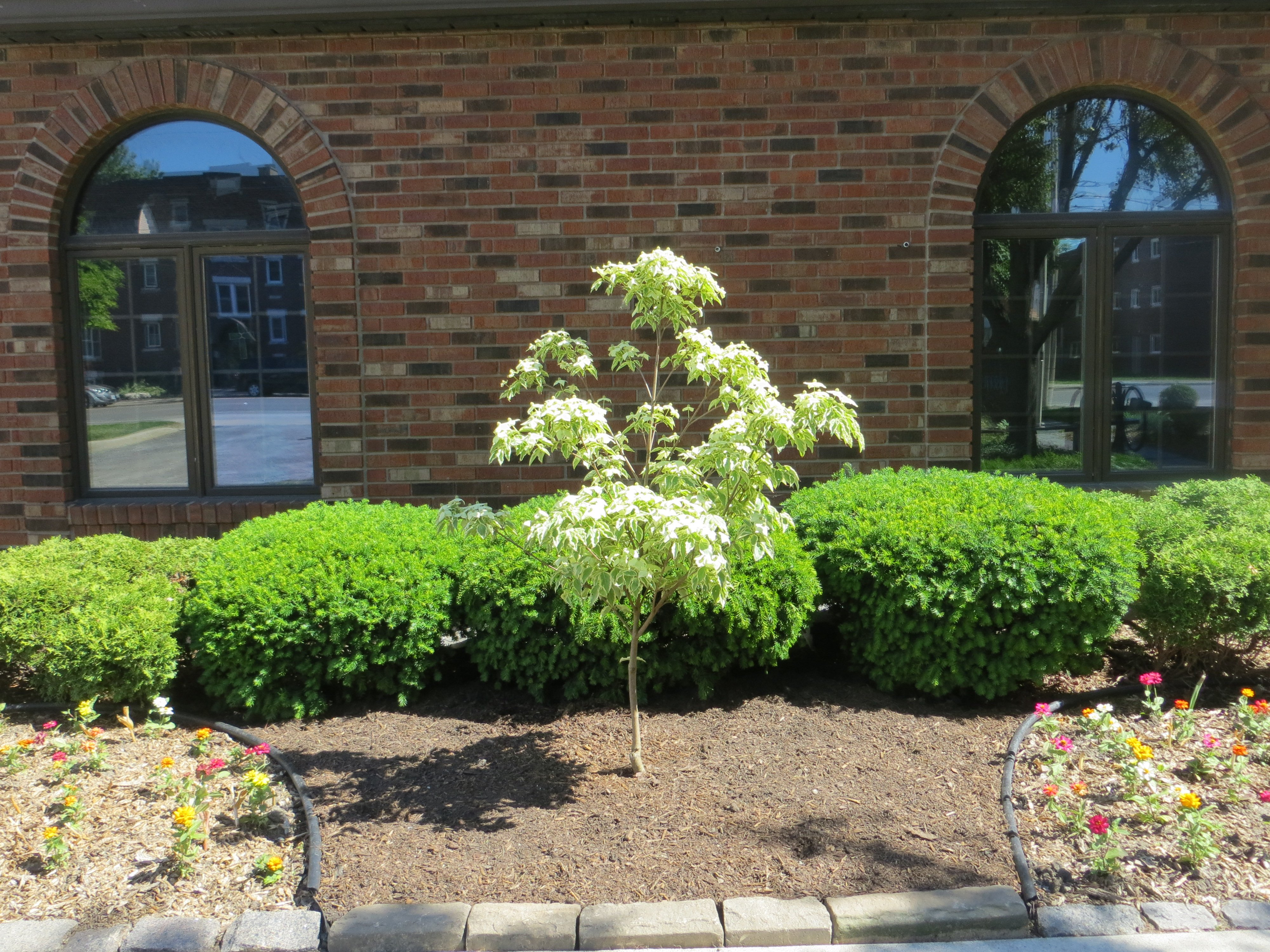 Samaritan Dogwood planted in honour of Archdeacon Ron's 90th birthday - June 8/20