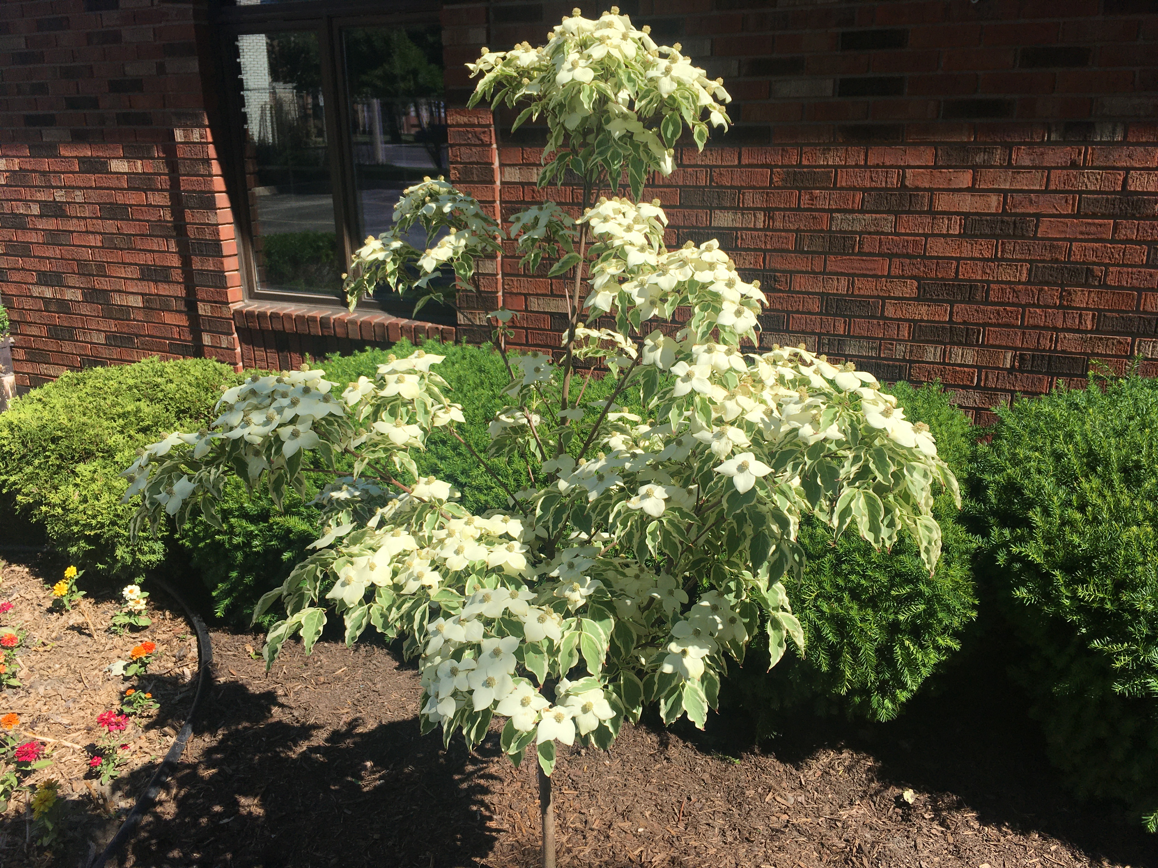 Samaritan Dogwood planted in honour of Archdeacon Ron's 90th birthday - photo taken on June 14, 2020