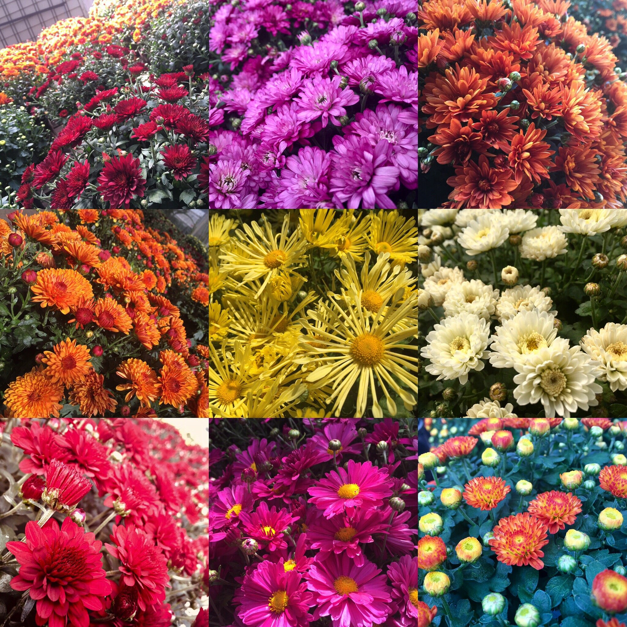 Chrysanthemums of every colour