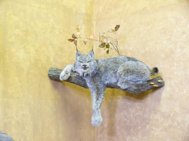 https://0901.nccdn.net/4_2/000/000/07d/95b/Bobcat-tree-web-2011-14--3--640x480.jpg