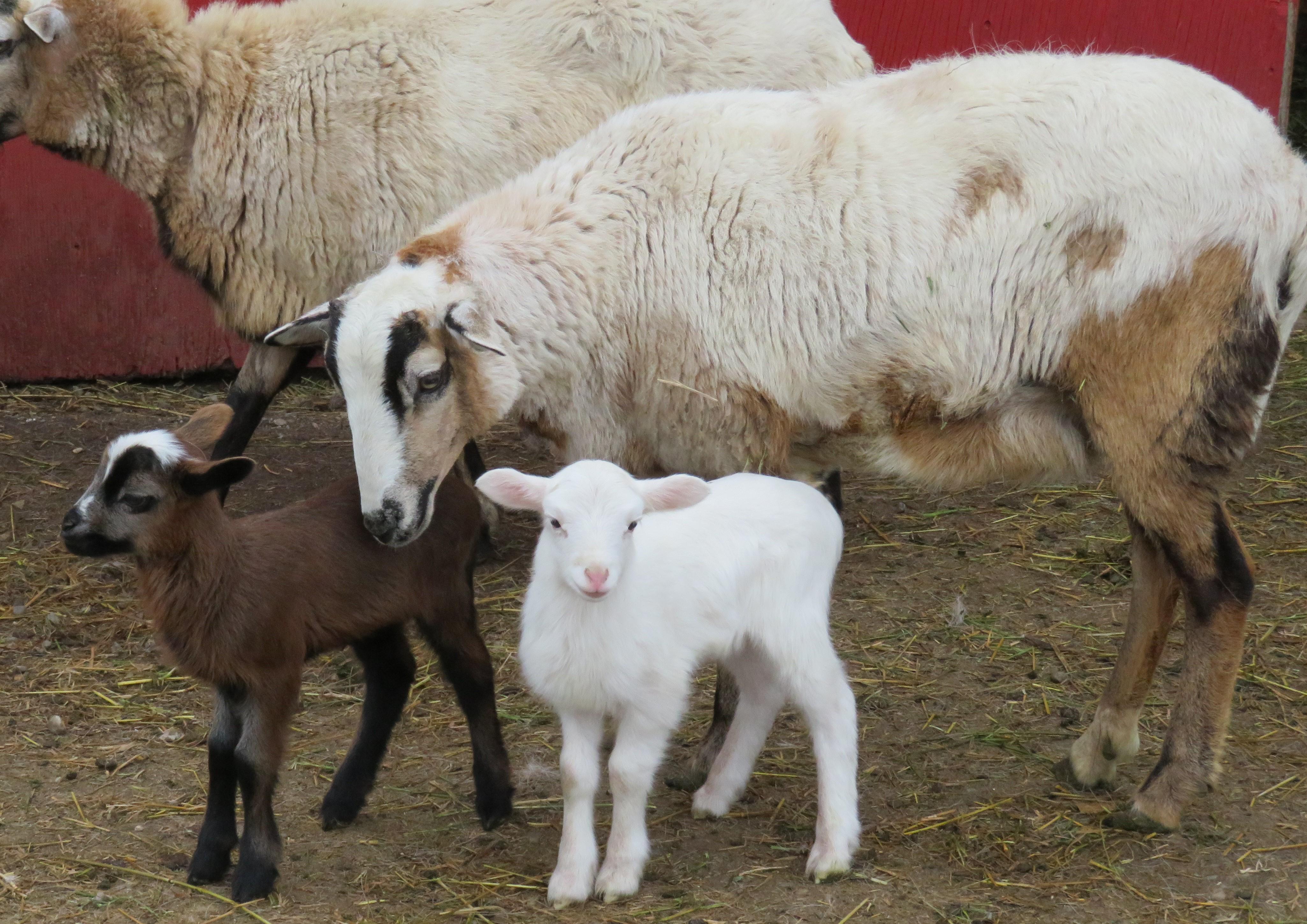 Big Rock Ribbon  Twin ewe lambs