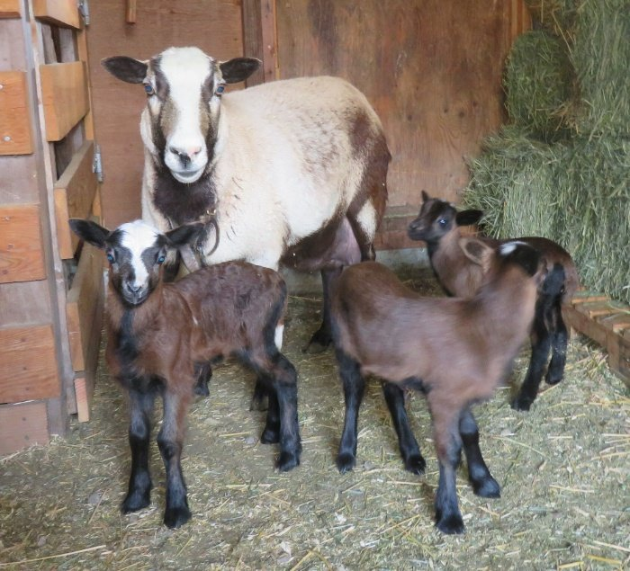 Poppy(for sale $100) ram, ewe & ewe lambs(both sold)