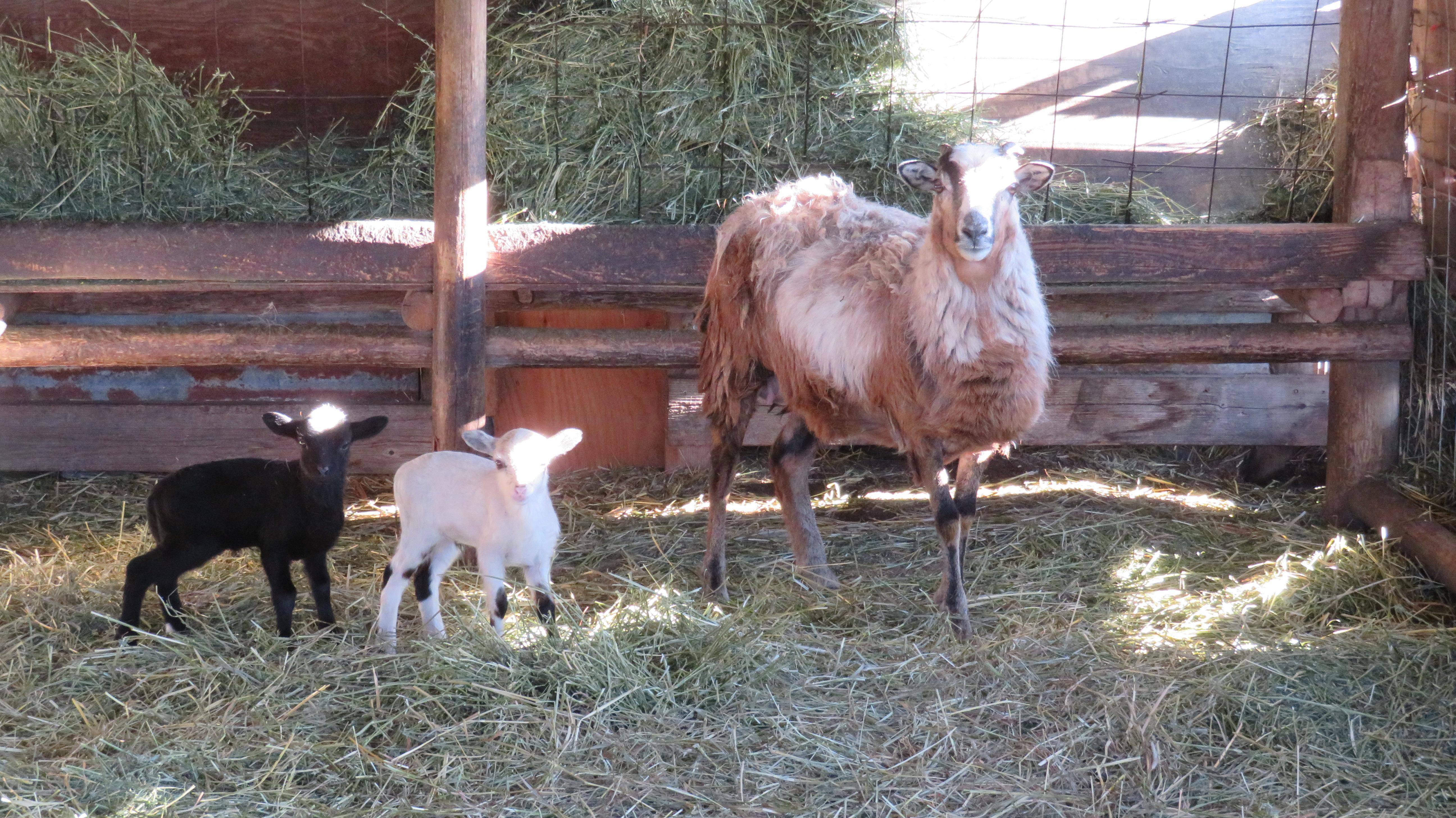 Big Rock Sugar Hill  twin ram lambs