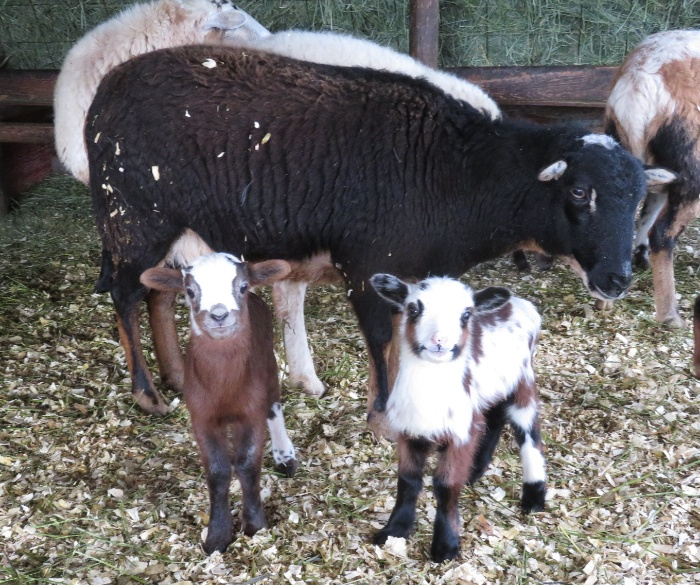 Big Rock Rhiatta - brown & white ram, tri-colour ram(staying) Doberman gene