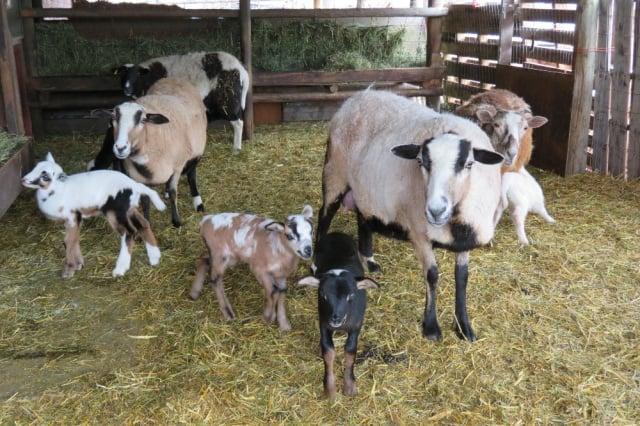 Hair Sheep Breeds
