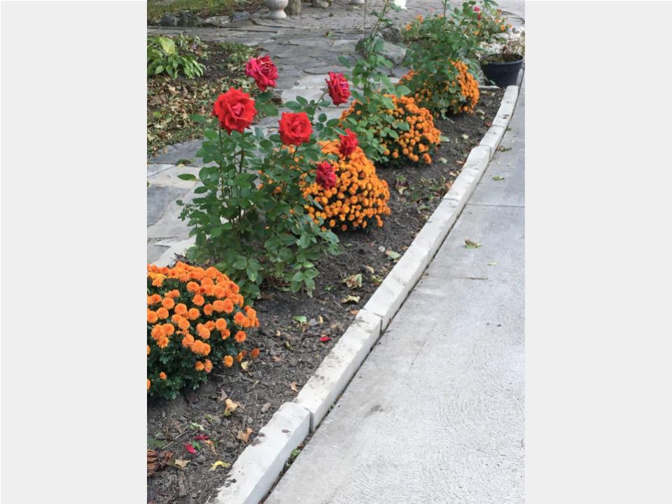 Church garden - roses