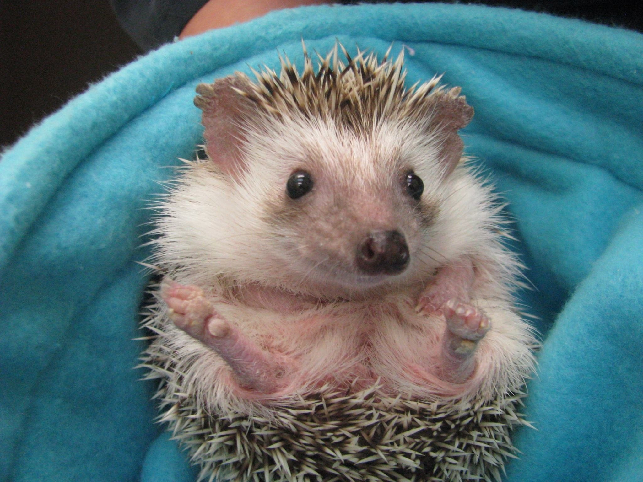 Hedgehog in blanket